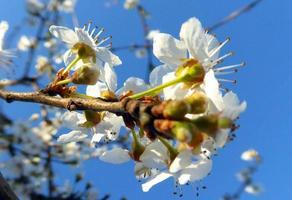 äppelblomningar foto