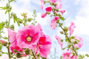 rosa hollyhockblomma i Thailand