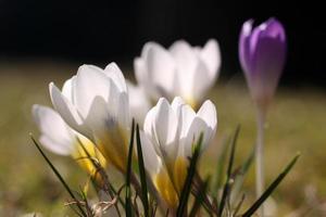 krokus blommar foto