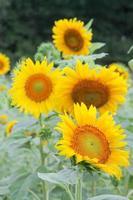 solrosor i fältet foto