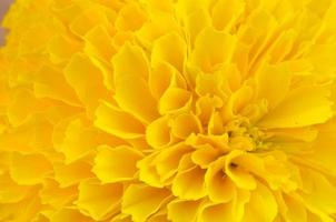 makro av gul ringblomma bakgrund foto