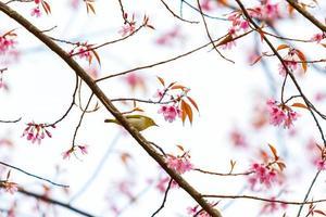 fågel på körsbärsblomning och sakura foto