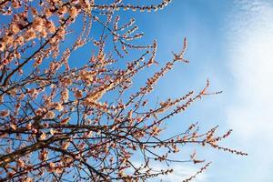 aprikos blommar grenar foto