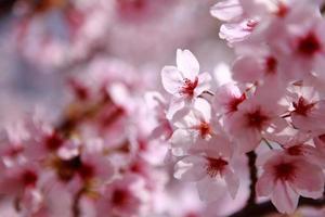vackra rosa körsbärsblommor skott i japan foto