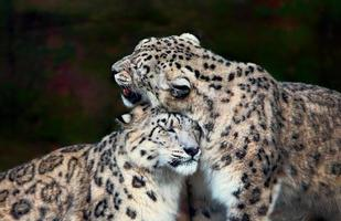 snöleoparder foto