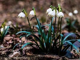snöflinga leucojum blomma