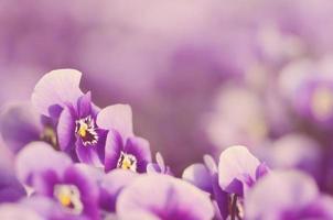 drömmande foto av violetta blommor