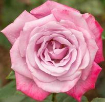 vacker violetta ros i en trädgård foto