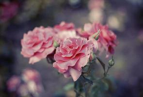 vintage rosor foto