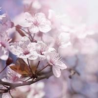 körsbärsgren i blom foto