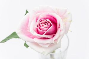 vit och rosa ros foto
