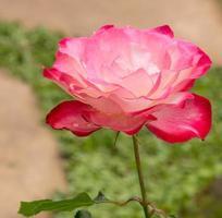 rosa ros i en trädgård foto