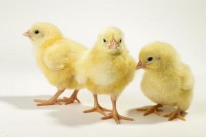 tre små kycklingar foto