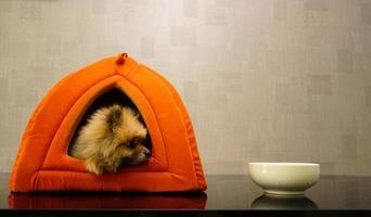 hund i sitt cushy hus och stirrar på skålen foto