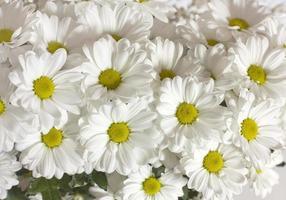 fotobakgrund av vita prästkragar foto