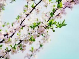 blomma körsbär eller äppelgren mot blå himmel, vårblommor foto