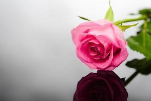 närbild skott av vacker rosa ros på mörk bakgrund foto