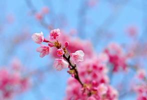 sakura rosa blomma i chaingmai, thailand (körsbärsblomning)
