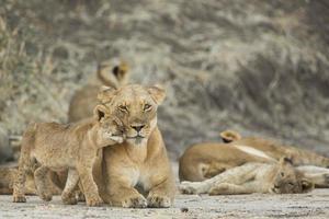 lejoninna (panthera leo) med ungen foto