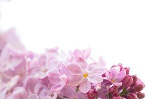 isolerad blomma av lila foto