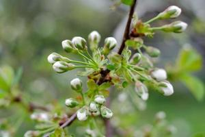blommande vita körsbärsblommor foto