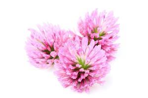 klöver blommor närbild. foto