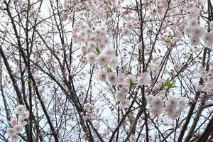 körsbärsblomning - sakura foto