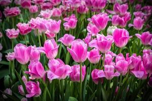 rosa lila tulpaner med vattendroppar foto