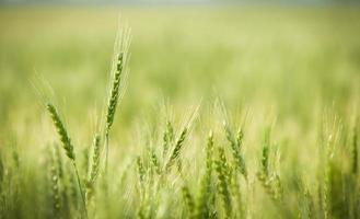 grön, vår, vete fält