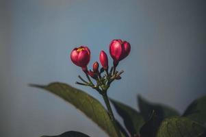 röd blomma med gröna blad foto