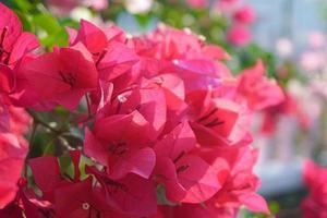 rosa magenta bougainvilleablommor foto