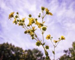 gula vildblommor mot blå himmel foto