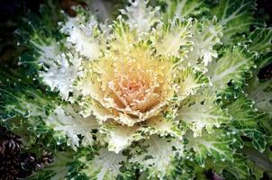 vitgrön dekorativ växt