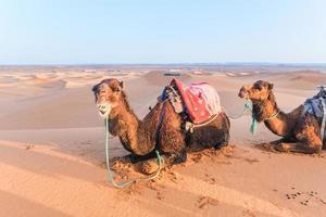 kameler med sadlar foto