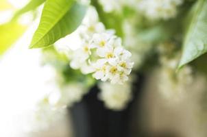 fågel-körsbärsträd vita blommor i svart glasvas, solljus, blured foto
