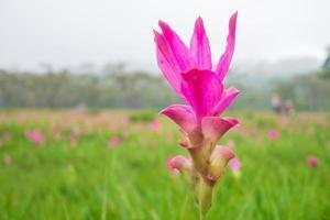 närbild av rosa en siam tulpan