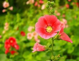 röda malvablommor som blommar i en trädgård