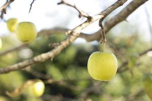 närbild av grönt äpple på träd foto