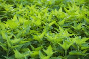 urtica dioica (stickande nässlor) medicinsk ört på våren ny medow foto