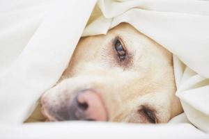 hund i sängen foto