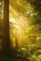 inspirerande redwoods foto