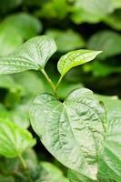 material. thailändska medicinalväxter. (piper sarmentosum roxb.) foto