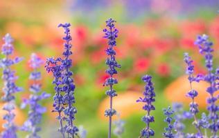 lavendelblommor i trädgården. foto