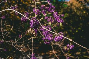 lila klusterblommor på träd foto