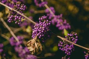 närbild av lila klusterblommor foto