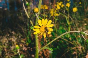 gul blomma med ett bi på den foto