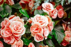 rosa kronblad foto
