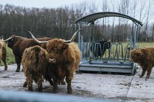flock bison
