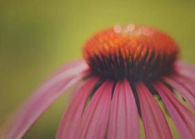 lila echinacea blomma foto