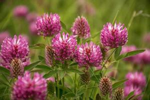 rödklöver eller trifolium pratense foto